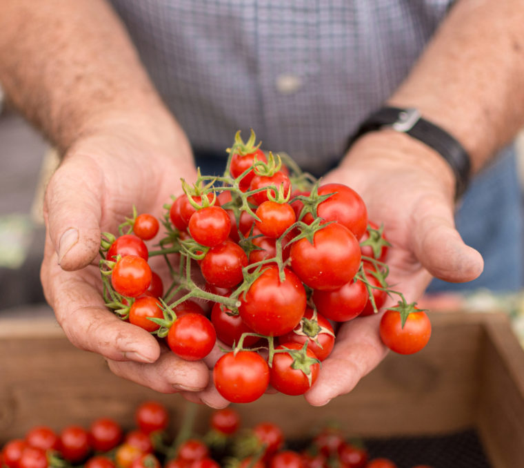 Hands holding a cluster of cherry tomatoes